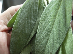 Fresh sage leaves gathered right outside the back door!